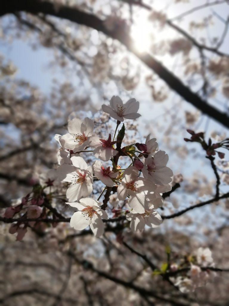 春、桜、マルシェ、一宮市
