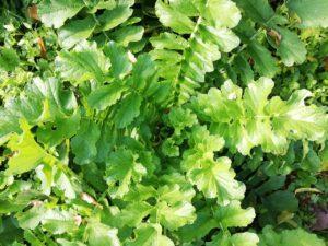 自然農で野菜を育てる一宮市の整体院 風邪予防に大根